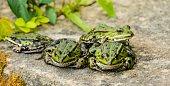 European Fauna Frogs