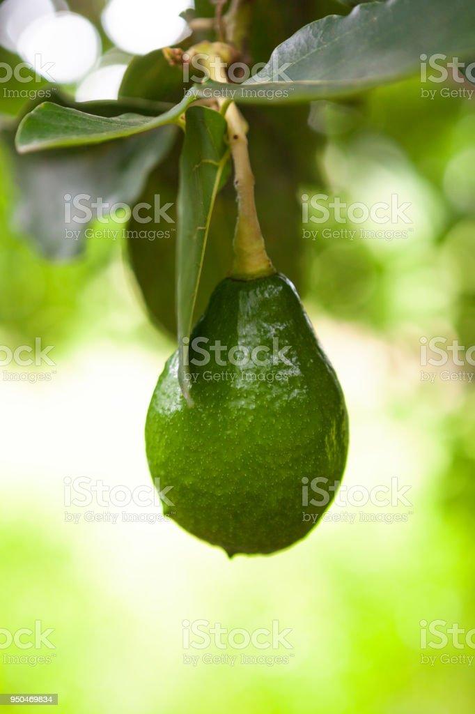 Green fruit of avocado. stock photo