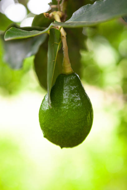 Green fruit of avocado. stock photo