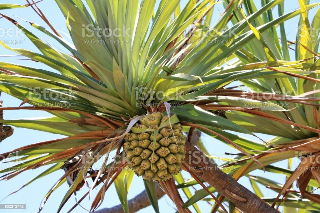 Green fruit of Pandanus tectorius at Sunshine Coast , Queensland Australia stock photo