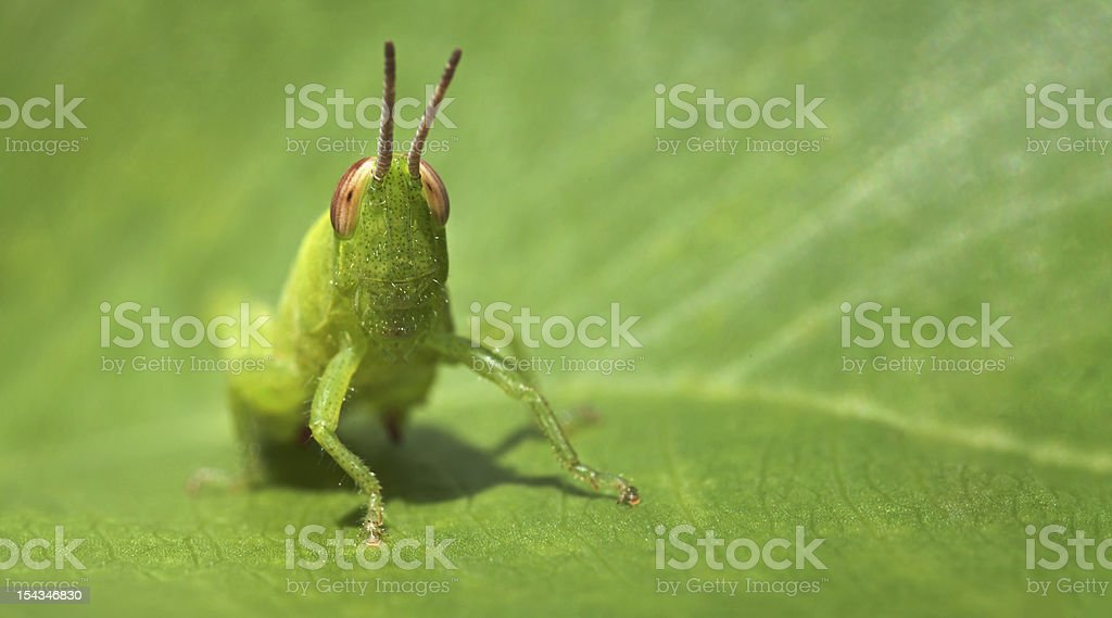 Green funny grasshopper on a leaf - business card format royalty-free stock photo