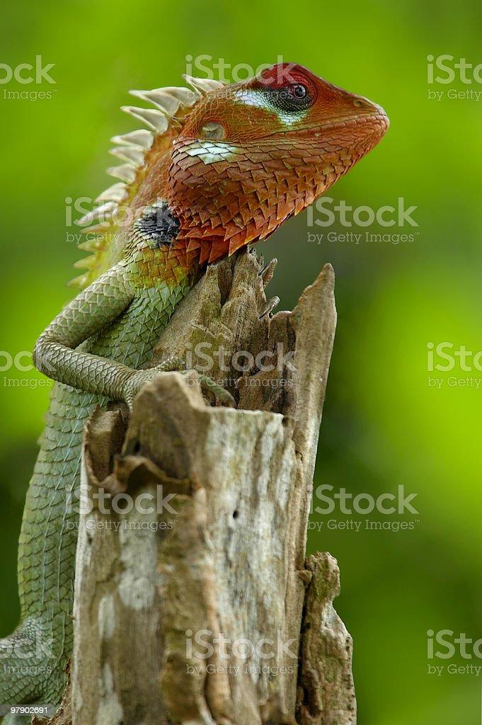 Green garden lizard royalty-free stock photo