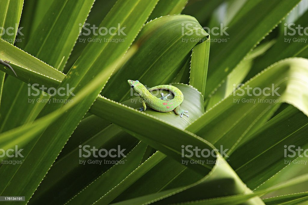 Green Gecko Lizard Hiding In A Lush Tropical Plant stock photo