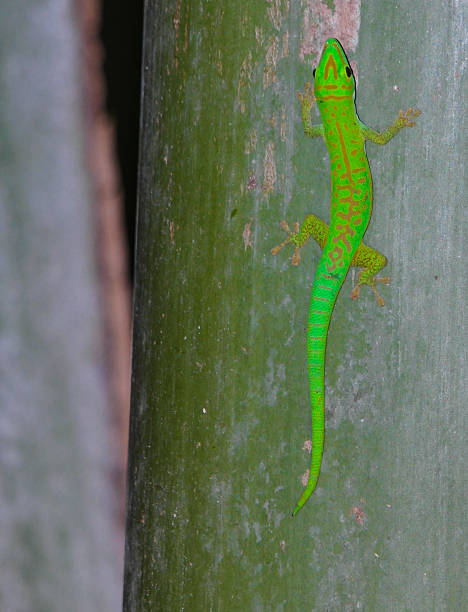 Green gecko on a palm stock photo