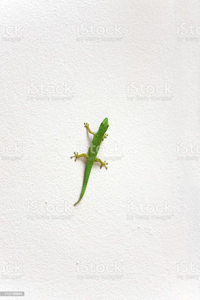 Fotografía de Gecko Verde y más banco de imágenes de Aire libre   iStock