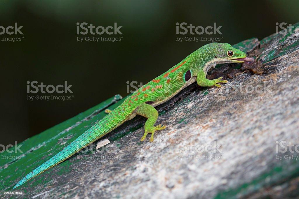 Fotografía de Gecko Verde y más banco de imágenes de Animal   iStock