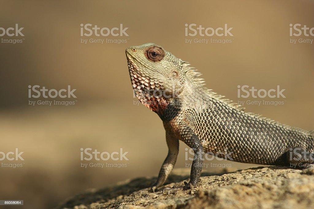 Green Gecko royaltyfri bildbanksbilder