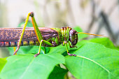 Green giant locust sits on leaves of agricultural plants, crop pest