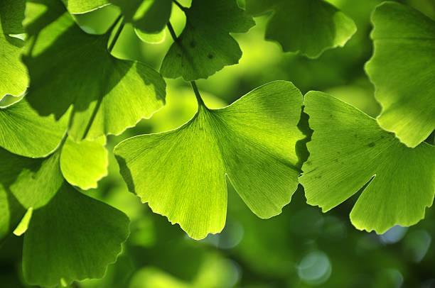 green ginkgo leaf - ginkgo stock-fotos und bilder