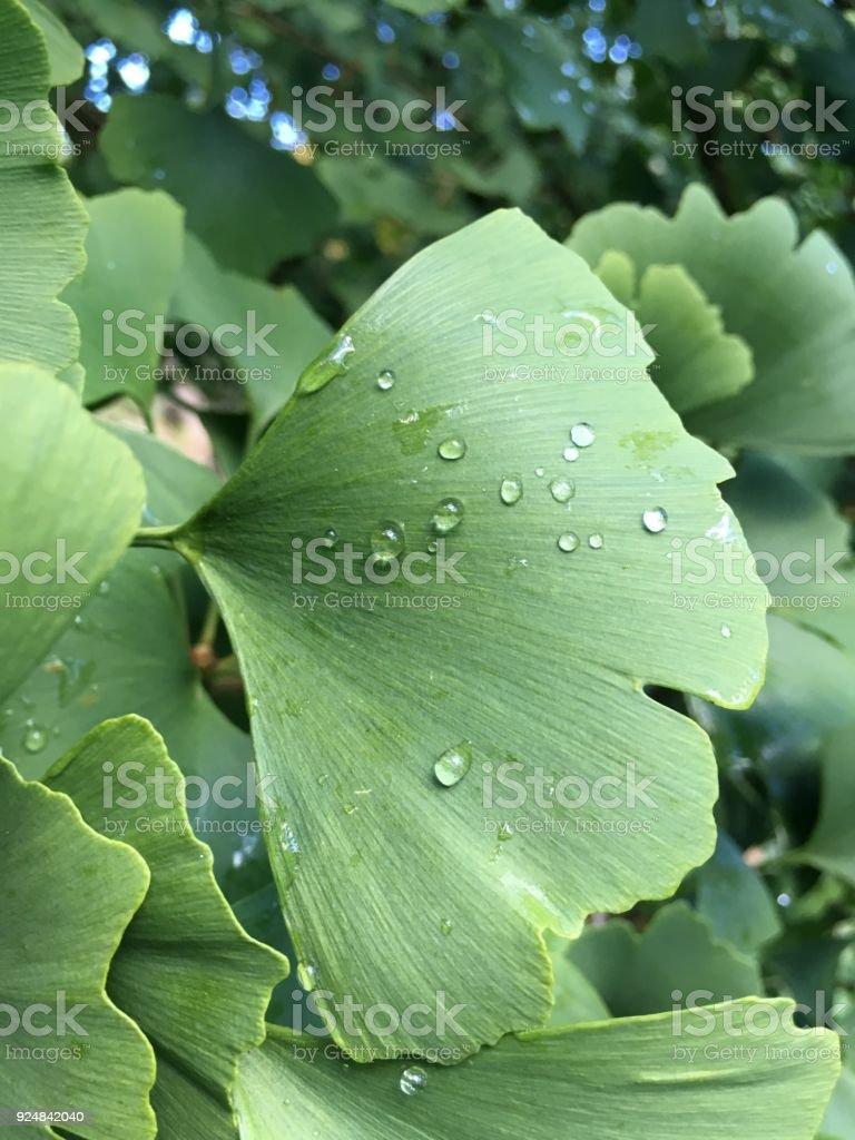 Green Ginko Leaf with water drops stock photo