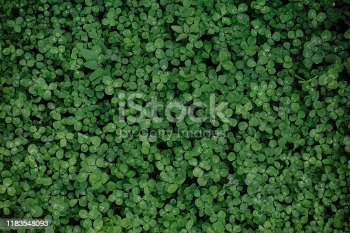 green glade clover grass background from leaves carpet
