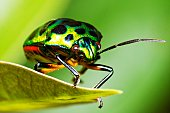 Green glitter beetle on leaf.