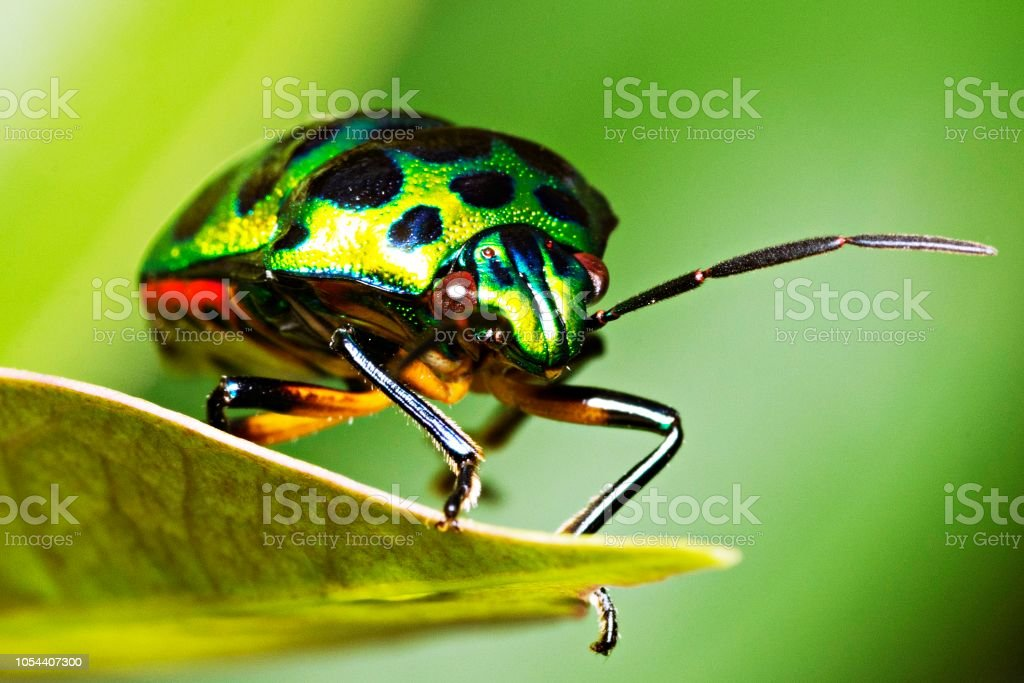 Green Glitter Beetle On Leaf Stock Photo