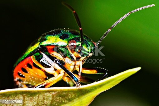 1054407300istockphoto Green glitter beetle on leaf. 1054407856