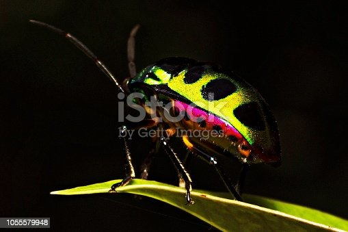 1054407300istockphoto Green glitter beetle on leaf. 1055579948