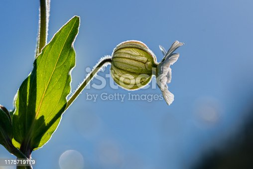 Silene vulgaris, Green Globule white flower, backlight.