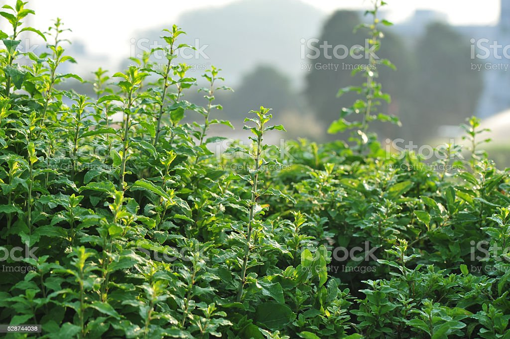 green goji berry plants in growth at garden stock photo