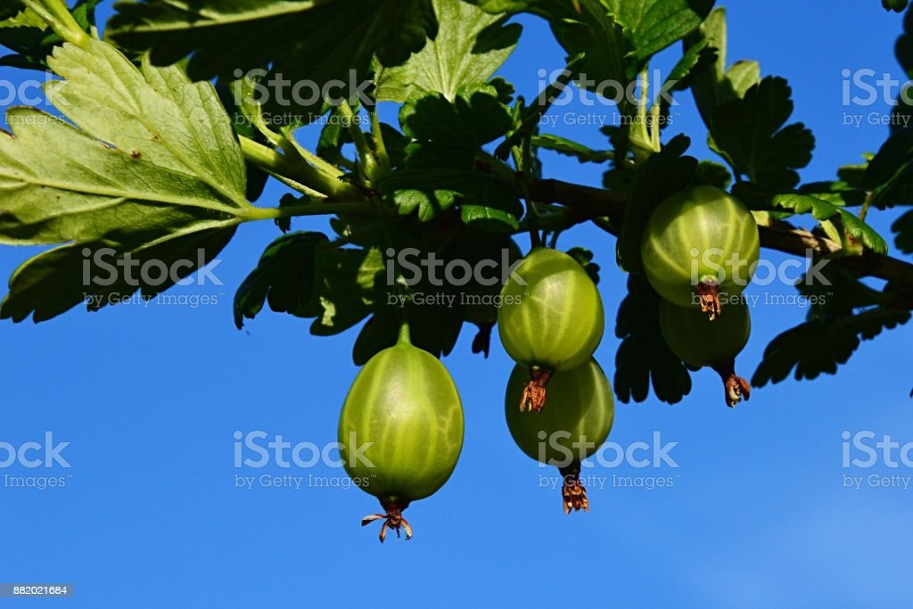 Green Gooseberries on gooseberry Ribes Uva-Crispa bush against blue sky stock photo