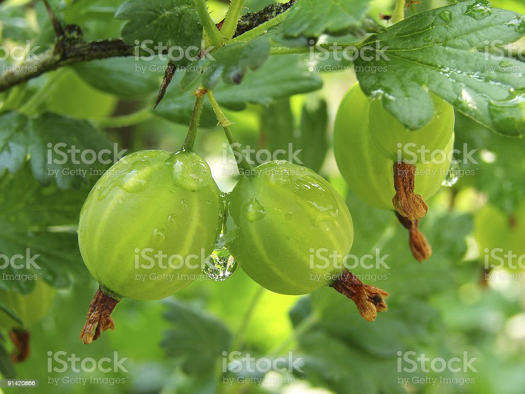 green gooseberries royalty-free stock photo