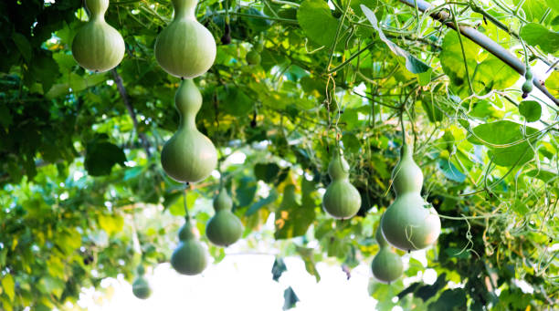 green gourds are hanging on the vine - gourd stock photos and pictures