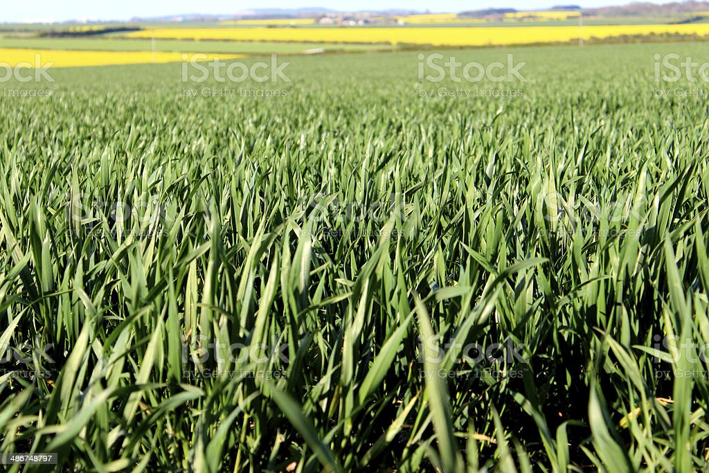Green grain fields and oilseed rapeseed yellow flowers in spring green grain fields and oilseed rapeseed yellow flowers in spring royalty free stock photo mightylinksfo
