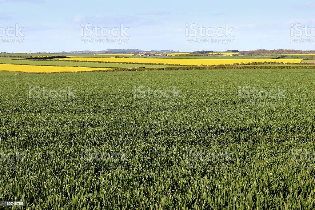 Campi Fiori Gialli.Verde Piante Oleaginose E I Cereali Campi Di Colza In Primavera