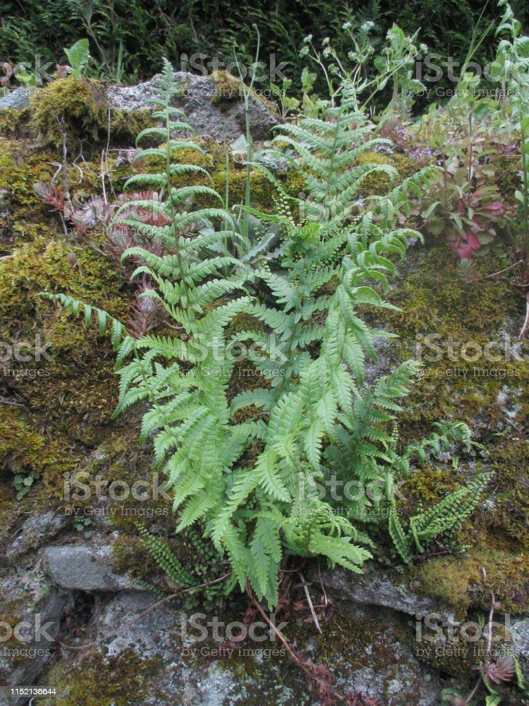 Mur Vegetal Plante Grasse photo libre de droit de mur de bloc de granit vert fougères et plantes  grasses banque d'images et plus d'images libres de droit de {top keyword}