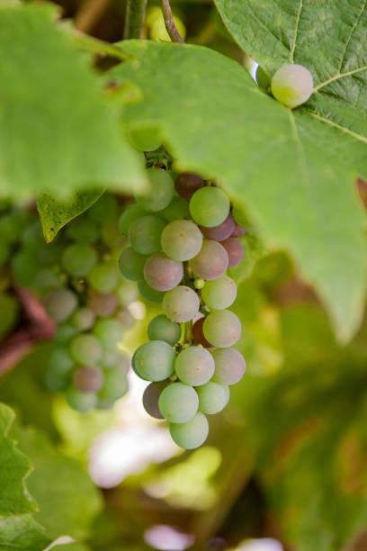 Green Grape Bunch stock photo