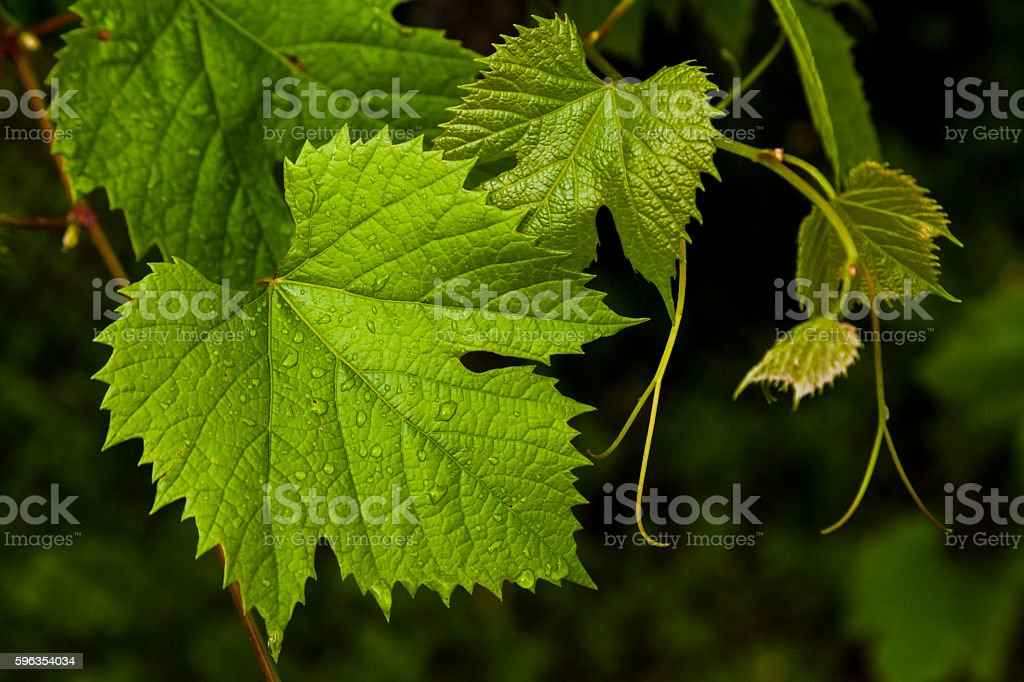 Green grape leaves in the morning dew. royalty-free stock photo