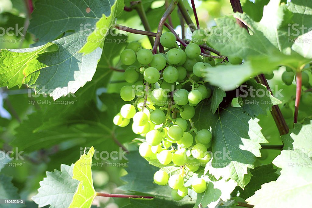 green grape royalty-free stock photo