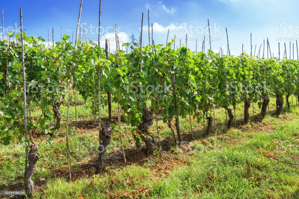 Green grapes grown for wine. - foto stock
