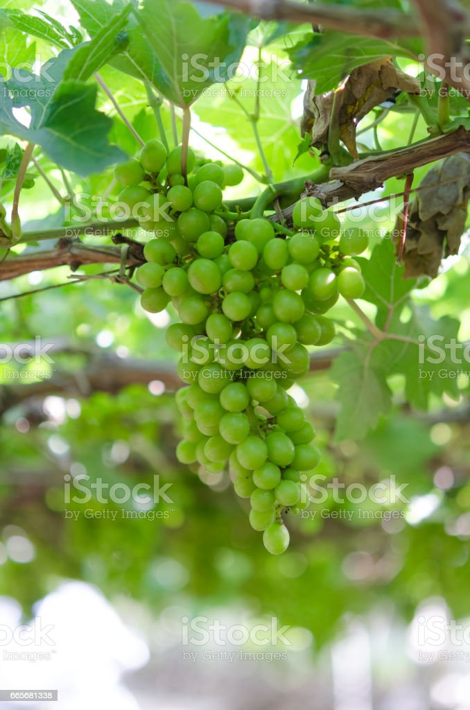 Green grapes in farm at Ninh Thuan, Vietnam stock photo