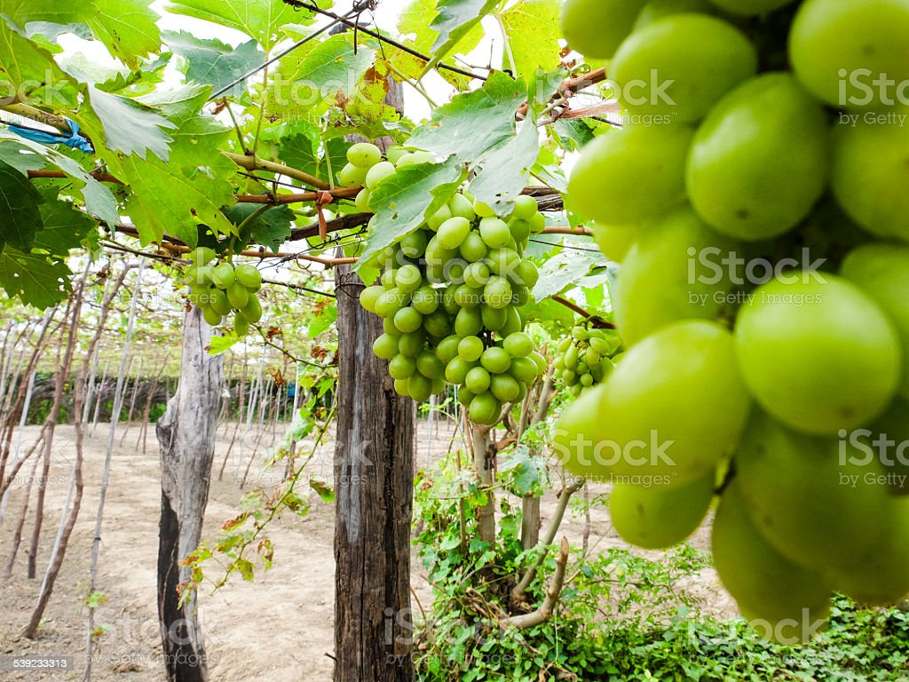 Green grapes in the garden royalty-free stock photo