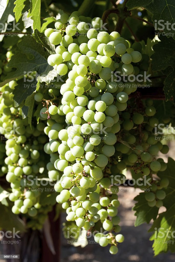 Green grapes in vineyard royalty-free stock photo