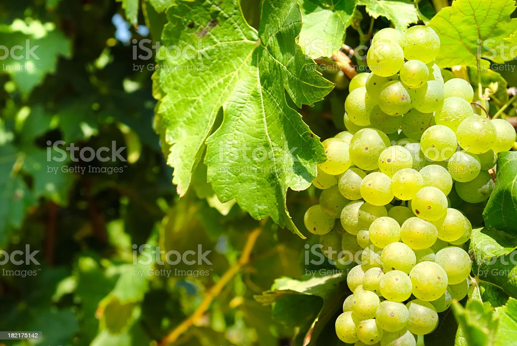 Green grapes on the vine on a sunny day royalty-free stock photo