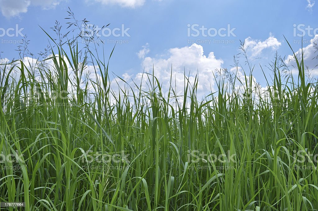Green Grass and Blue Sky royalty-free stock photo