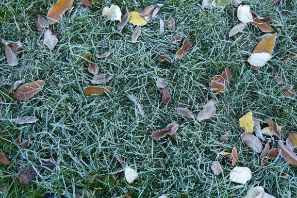 Green grass and fallen leaves covered with hoarfrost in late autumn stock photo