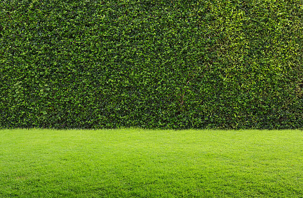 green grass and hedge green grass and hedge background grounds stock pictures, royalty-free photos & images