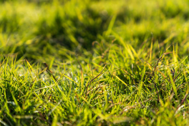 Green Grass Background in the Morning stock photo