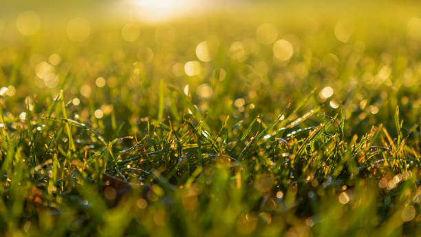 Green Grass Background in the Morning Sunrise stock photo