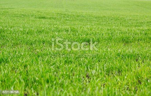 istock Green grass background 522136758