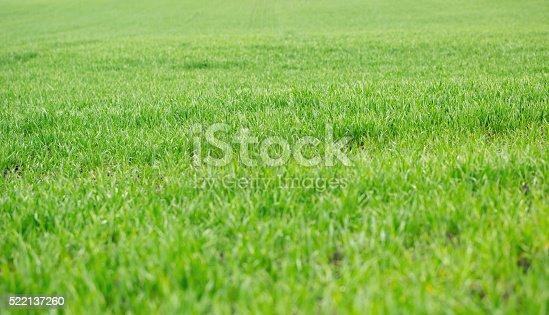 istock Green grass background 522137260