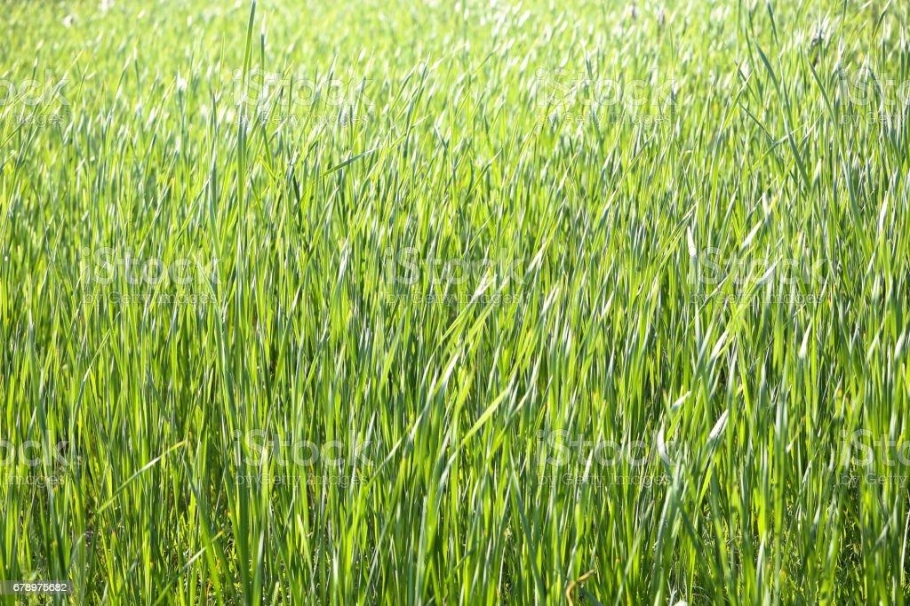 Green grass background photo libre de droits