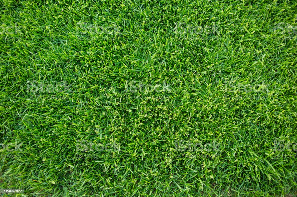 Green grass background texture. fresh bright juicy mowed lawn. top view, close up. - Royalty-free Agricultural Field Stock Photo