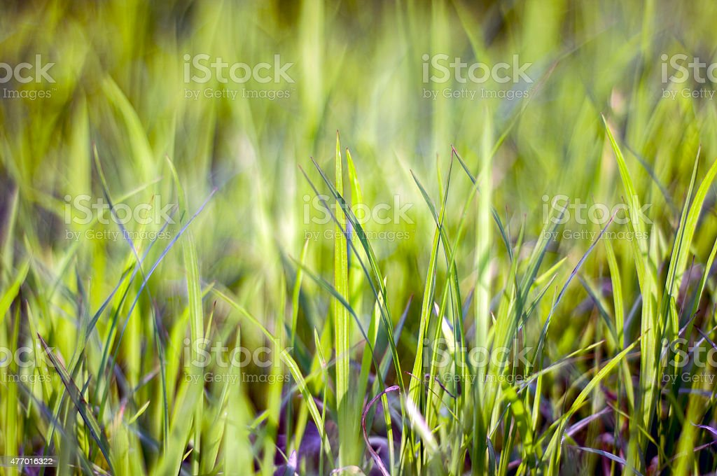 Green grass backgrounds with beauty bokeh (Shallow Dof) stock photo