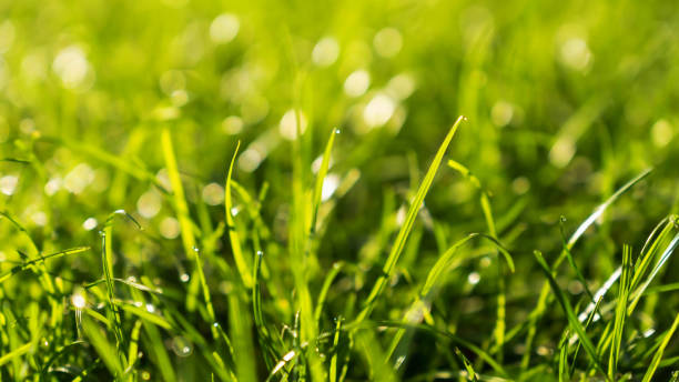 Green Grass Bokeh Background in the Morning stock photo