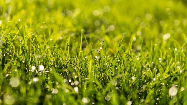 Green Grass Bokeh Background with Water Drops in the Morning stock photo
