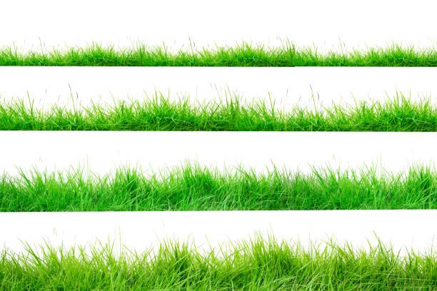 fronteira de grama verde isolado no fundo branco. a coleção de grama. (grama de manila) a grama é nativa da tailândia é muito popular no jardim da frente. - gramado terra cultivada - fotografias e filmes do acervo