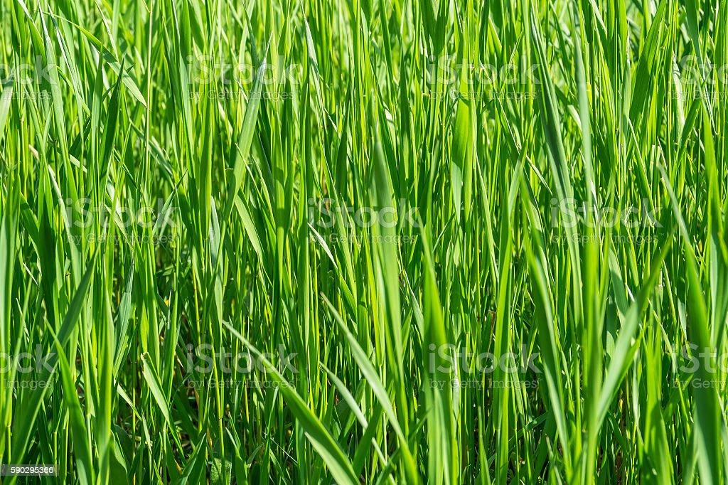 Green grass close up royaltyfri bildbanksbilder