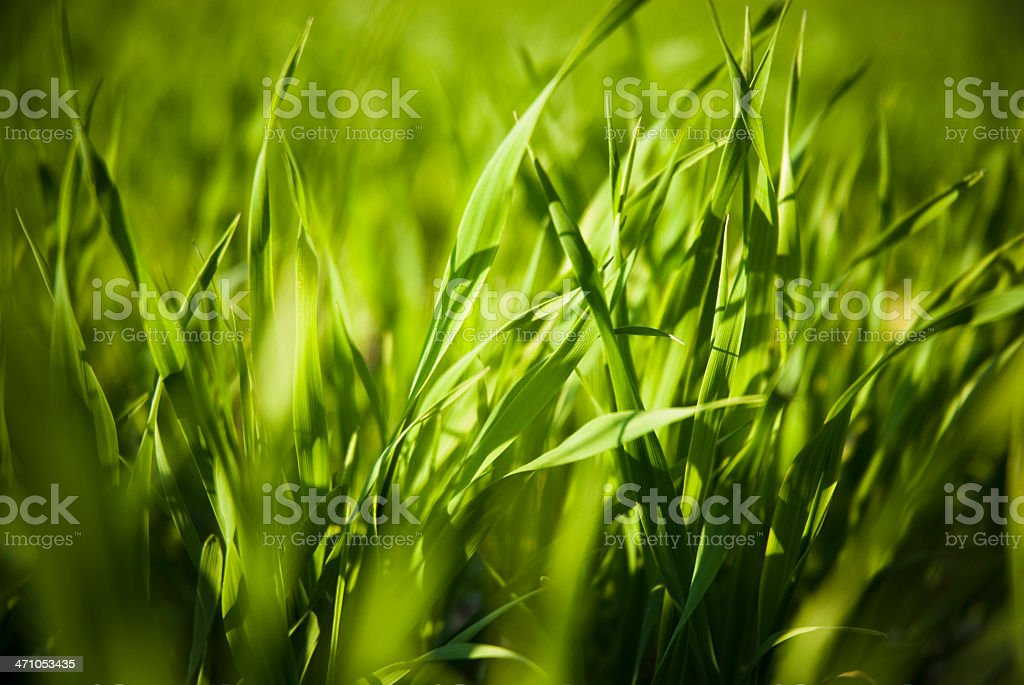 Green Grass Detail royalty-free stock photo